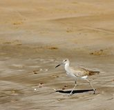 De Strandloper van het hoogland (longicauda Bartramia) op het Strand royalty-vrije stock foto's