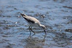 De Strandloper van het moeras stock fotografie