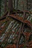 De streng van boomwortels rond een steen - Zwitserland royalty-vrije stock foto's
