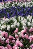 De Strepen van de hyacint royalty-vrije stock afbeeldingen