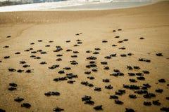De strijd van babyzeeschildpadden voor overleving na het uitbroeden in Mexico stock afbeeldingen