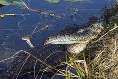 De Strijd van de alligator en van de Slang aan de dood royalty-vrije stock afbeelding
