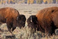 De strijd van de bizon stock afbeelding