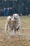 De strijd van de hond stock fotografie