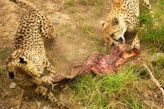 De strijd van de jachtluipaard voor voedsel Royalty-vrije Stock Foto