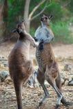 De Strijd van de kangoeroe Royalty-vrije Stock Foto's
