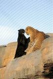 De strijd van de kat - panters het vechten Royalty-vrije Stock Afbeeldingen