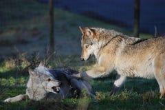 De strijd van de wolf Royalty-vrije Stock Afbeelding