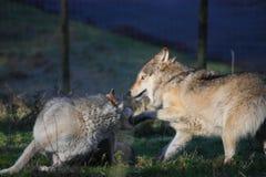 De strijd van de wolf Stock Fotografie