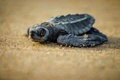 De strijd van een babyzeeschildpad voor overleving na het uitbroeden in Mexico royalty-vrije stock foto's