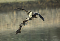 De strijd van het grondgebied van Grey Herons stock fotografie