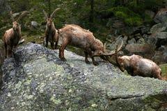 De strijd van het stenen bierkroesbockbier in alpen Stock Foto's