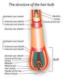De structuur van de haarbol, anatomische opleidingsaffiche, vectorillustratie Royalty-vrije Stock Foto