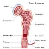 De structuur van het been vector illustratie