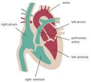De structuur van het hart royalty-vrije illustratie