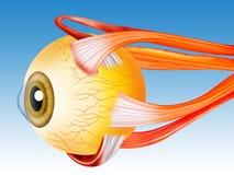 De structuur van het oog stock illustratie