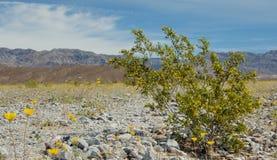 De Struik die van de creosoot in de Vallei van de Dood bloeit Stock Afbeelding