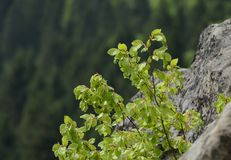 De struik met groene succulente bladeren groeit op grijze die rotsen met mos in de Oekraïne worden overwoekerd royalty-vrije stock afbeelding