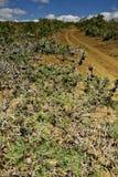 De struik van de acacia door steeg Royalty-vrije Stock Foto's