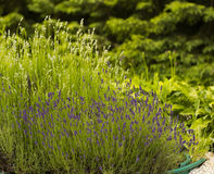 De struik van de bloemenlavendel in pot op de zomerdag in tuin Stock Fotografie