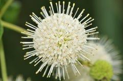 De Struik van de knoop (occidentalis Cephalanthus) Stock Afbeelding
