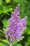 De struik van de vlinder Stock Afbeelding