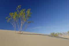 De struik van de woestijn op een zandduin Stock Fotografie