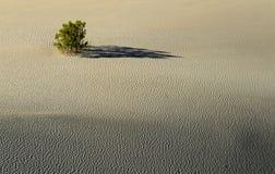 De struik van de woestijn op een zandduin Stock Afbeelding