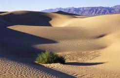De struik van de woestijn op een zandduin Stock Foto's
