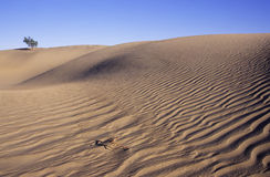 De struik van de woestijn op een zandduin Royalty-vrije Stock Foto