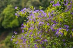 De struik van de lentebloemen - violette kleur Stock Foto