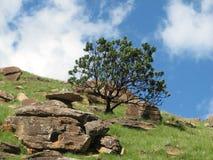 De struik van Protea in drakensberg   Royalty-vrije Stock Afbeeldingen