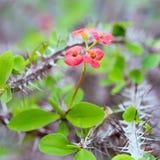 De struik van wolfsmelkmilii, eeuwigdurende installatie, succulent van familie Euphorbiaceae Stock Afbeelding