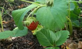 De struik is zeer smakelijke zoete aardbeien royalty-vrije stock foto