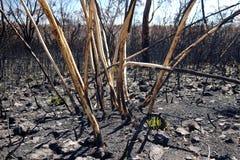 De struikbrand van Australië: gebrande malleeeucalyptus stock foto's