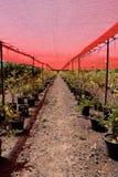 De struiken van de bes in potten onder het rode net Stock Afbeelding