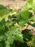 De struiken van de druivenbladeren van de wijnwerf Stock Afbeeldingen