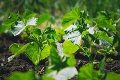 De struiken van komkommers groeien in de tuin Het tuinieren, het groeien groenten in de tuin royalty-vrije stock afbeeldingen