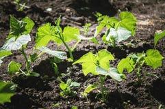 De struiken van komkommers groeien in de tuin Het tuinieren, het groeien groenten in de tuin Inleiding voor installaties royalty-vrije stock afbeeldingen