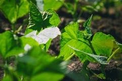 De struiken van komkommers groeien in de tuin Tuinieren, die voor fruitinstallaties geven stock afbeeldingen