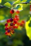 De struikfruit van de Amerikaanse veenbes Stock Foto's