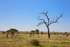 De struikgrasvlakte van de savanne met bomen, Zuid-Afrika Stock Foto's