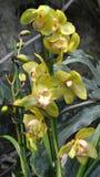 De struikvakantie van de orchideebloem Royalty-vrije Stock Afbeeldingen