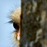 De struisvogel van de nieuwsgierigheid Stock Fotografie