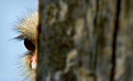 De struisvogel van de nieuwsgierigheid en? Stock Afbeelding