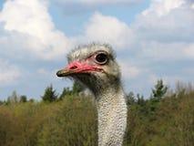 De Struisvogel van de struisvogel head Stock Afbeeldingen