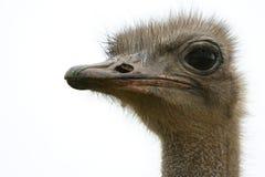 De Struisvogel van de struisvogel head Stock Foto