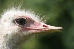 De Struisvogel van de struisvogel head Stock Foto's