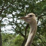 De struisvogel ziet eruit Royalty-vrije Stock Afbeelding