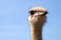 De struisvogel ziet - RUW formaat eruit Stock Foto